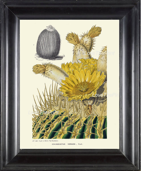 BOTANICAL PRINT HOUTTE  Art Print 94 Beautiful Yellow Cactus Blooming Flower Tropical Garden Nature Home Wall Decor Picture to Frame