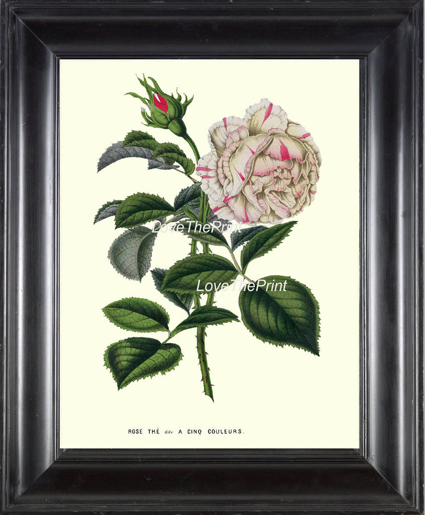 BOTANICAL PRINT HOUTTE  Art Print 154 Beautiful White Pink Rose Antique Flower Plant Garden Home Wall Decor Interior Design to Frame