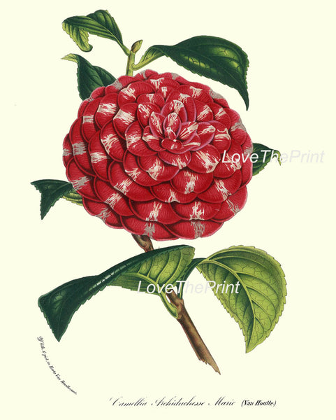 BOTANICAL PRINT HOUTTE  Art Print 183 Beautiful White Pink Red Camellia Antique Flower Garden Home Wall Decor Interior Design to Frame