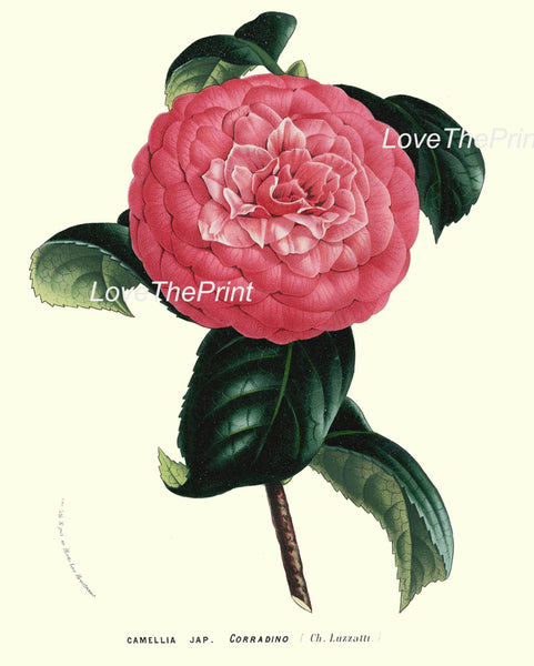 BOTANICAL PRINT HOUTTE  Art Print 187 Beautiful Pink Camellia Antique Flower Garden Nature Home Wall Room Decoration Decor to Frame