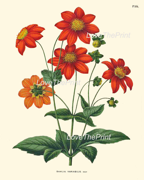 BOTANICAL PRINT WITTE  Botanical Art Print 48 Beautiful Aztec Dahlia Antique Large Flower Spring Old Garden Country Cottage Home Decor