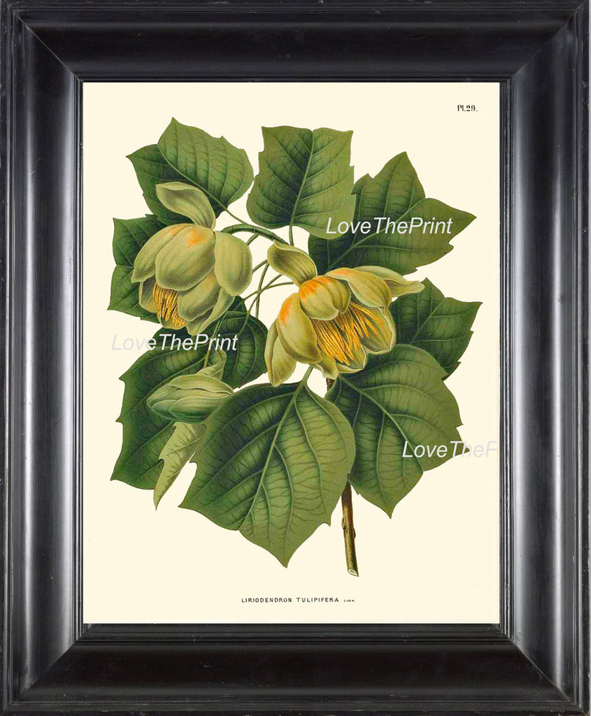 BOTANICAL PRINT WITTE  Botanical Art Print 26 Beautiful Tulip Tree Antique Flower Green Nature Illustration Picture Home Decor to Frame