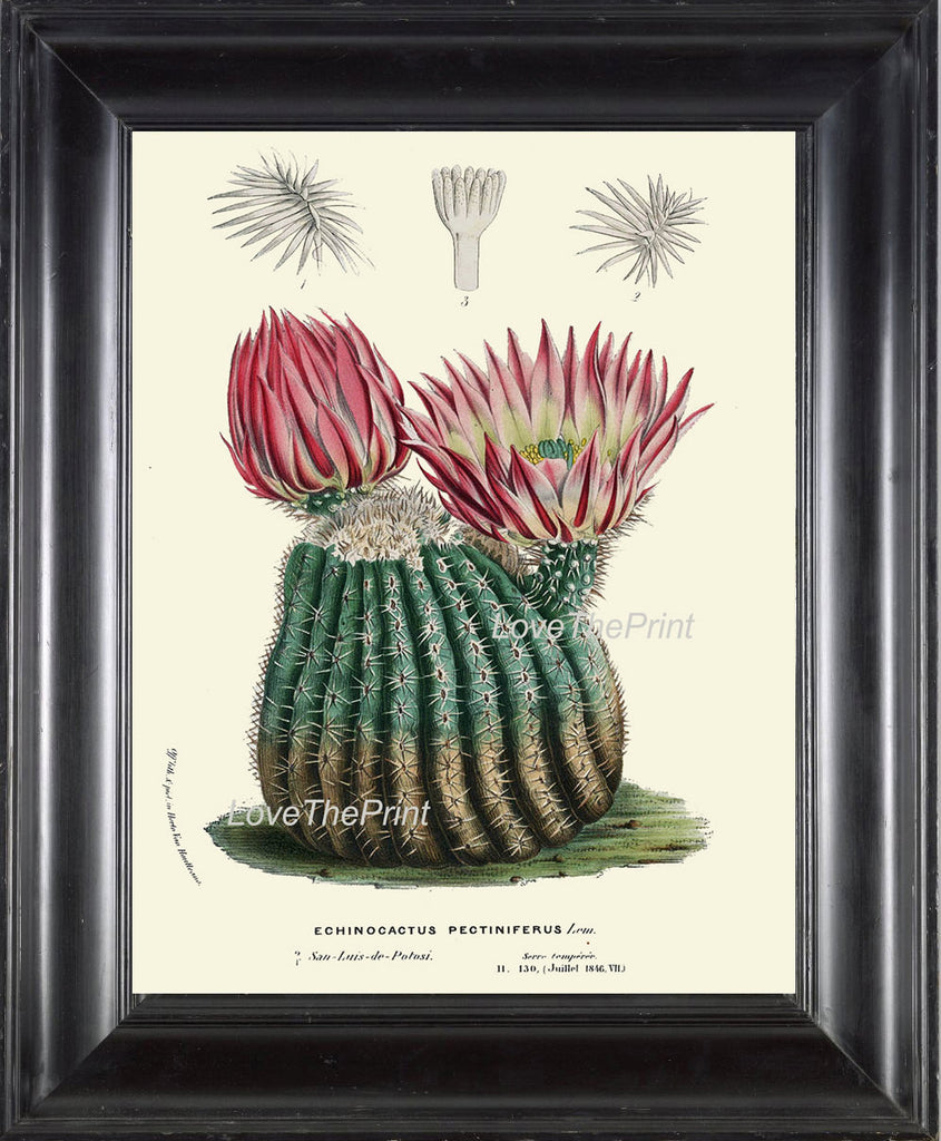 BOTANICAL PRINT HOUTTE  Art Print 95 Beautiful Pink Cactus Blooming Flower Tropical Garden Nature Home Wall Decor Illustration to Frame