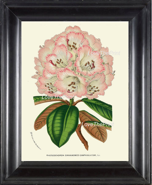 BOTANICAL PRINT HOUTTE  Art Print 195 Beautiful Pink Rhododendron Large Antique Flower Garden Home Wall Decor Interior Design to Frame