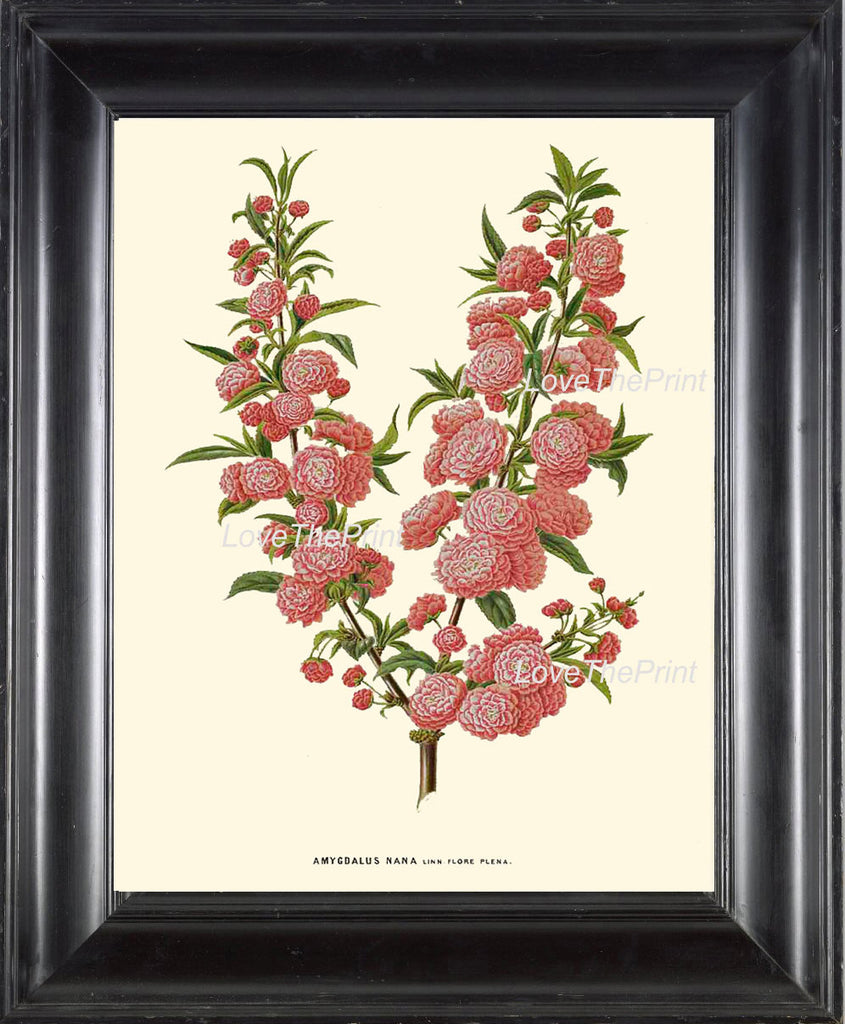 BOTANICAL PRINT WITTE  Botanical Art Print 19 Beautiful Dwarf Almond Pink Antique Flower Tree Branch Wall Room Home Decor to Frame