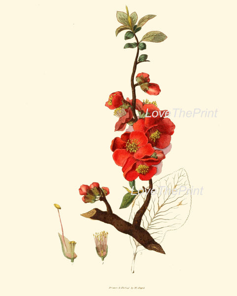 BOTANICAL PRINT Clarke Flower  Botanical Art Print 1 Beautiful Antique Red Japanese Quince Flower Spring Garden
