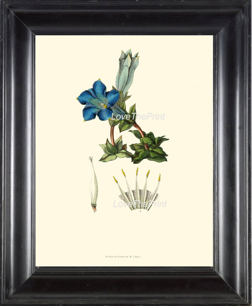 BOTANICAL PRINT Clarke Flower  Botanical Art Print 2 Beautiful Antique Blue Stemless Gentian Flower Spring Garden Home Decor to Frame