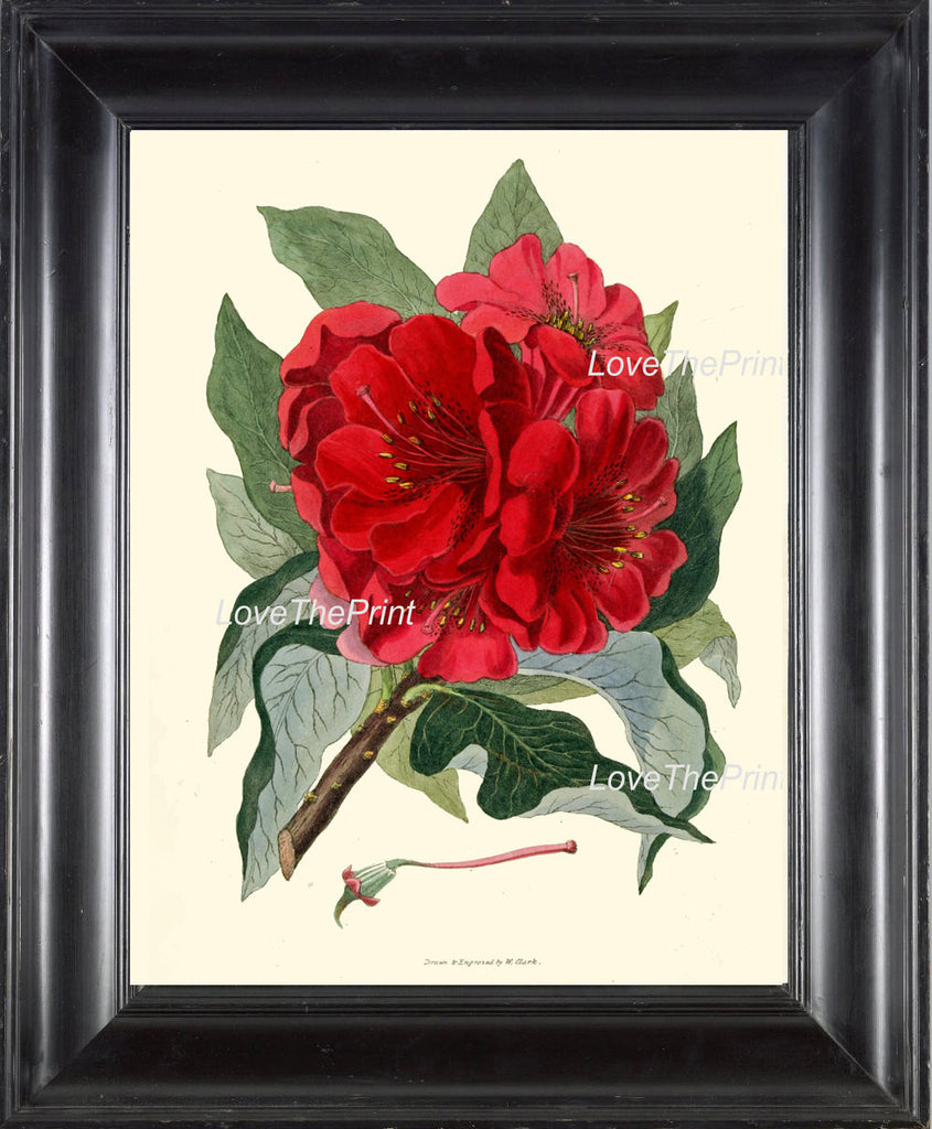 BOTANICAL PRINT Clarke  Botanical Art Print 7 Beautiful Red Antique Rhododendron Large Flower Beautiful Garden Nature Home Room Decor