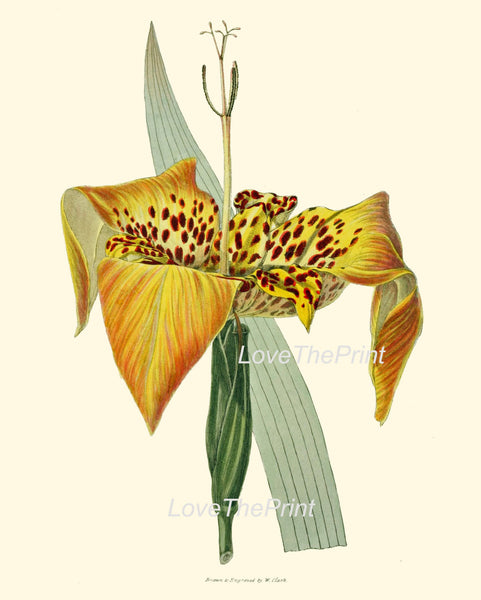 BOTANICAL PRINT Clarke  Botanical Art Print 19 Beautiful Tiger Lily Large Flower Antique Garden Wall Home Room Decor Interior Design