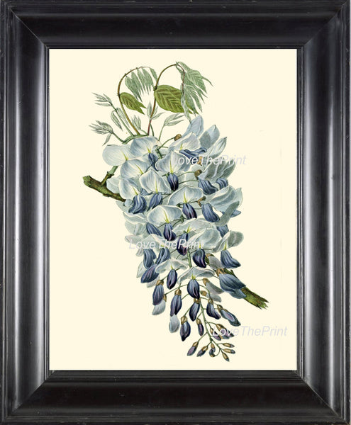 BOTANICAL PRINT Clarke  Botanical Art Print 41 Beautiful Blue Wisteria Flower Antique Spring Summer Garden Tree Branch Illustration