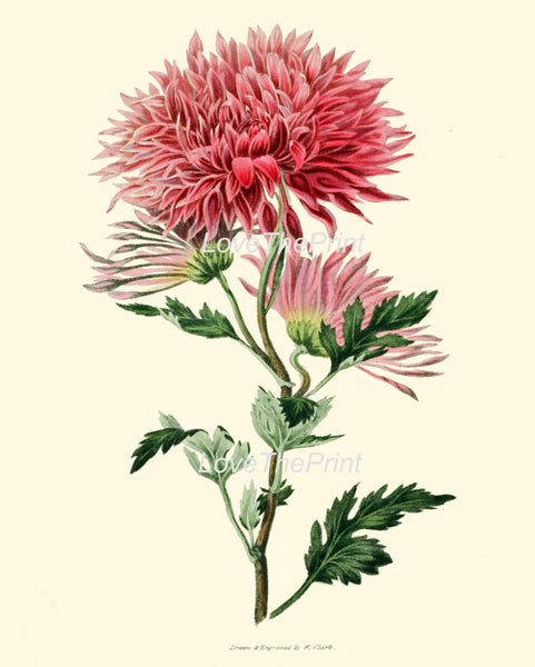 BOTANICAL PRINT Clarke  Botanical Art Print 45 Beautiful Pink Chrysanthemum Flower Antique Spring Summer Garden Home Wall Decor to Frame