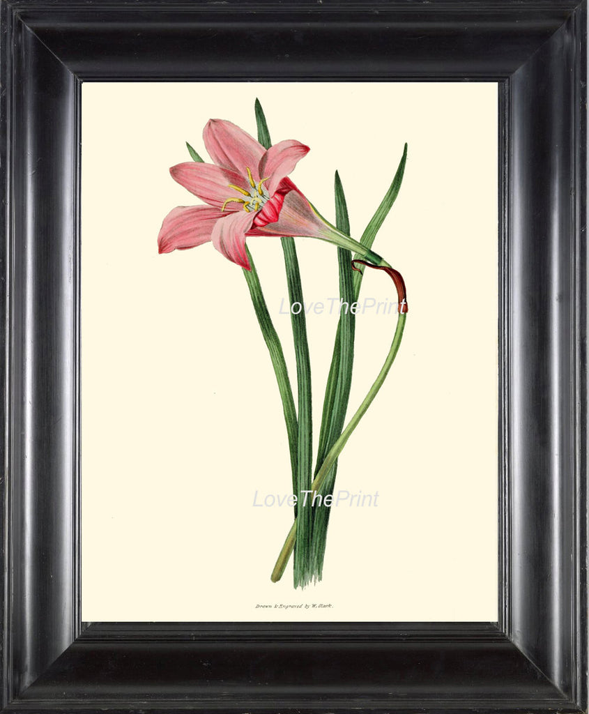BOTANICAL PRINT Clarke  Botanical Art Print 39 Beautiful Rosepink Zephyr Lily Pink Rain Lily Flower Antique Garden Home Decor to Frame