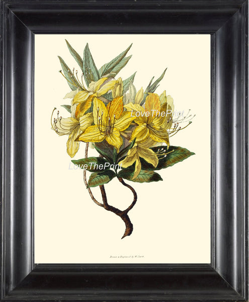 BOTANICAL PRINT Clarke  Botanical Art Print 16 Beautiful Yellow Azalea Flower Antique Writing Spring Garden Plant Home Decor to Frame