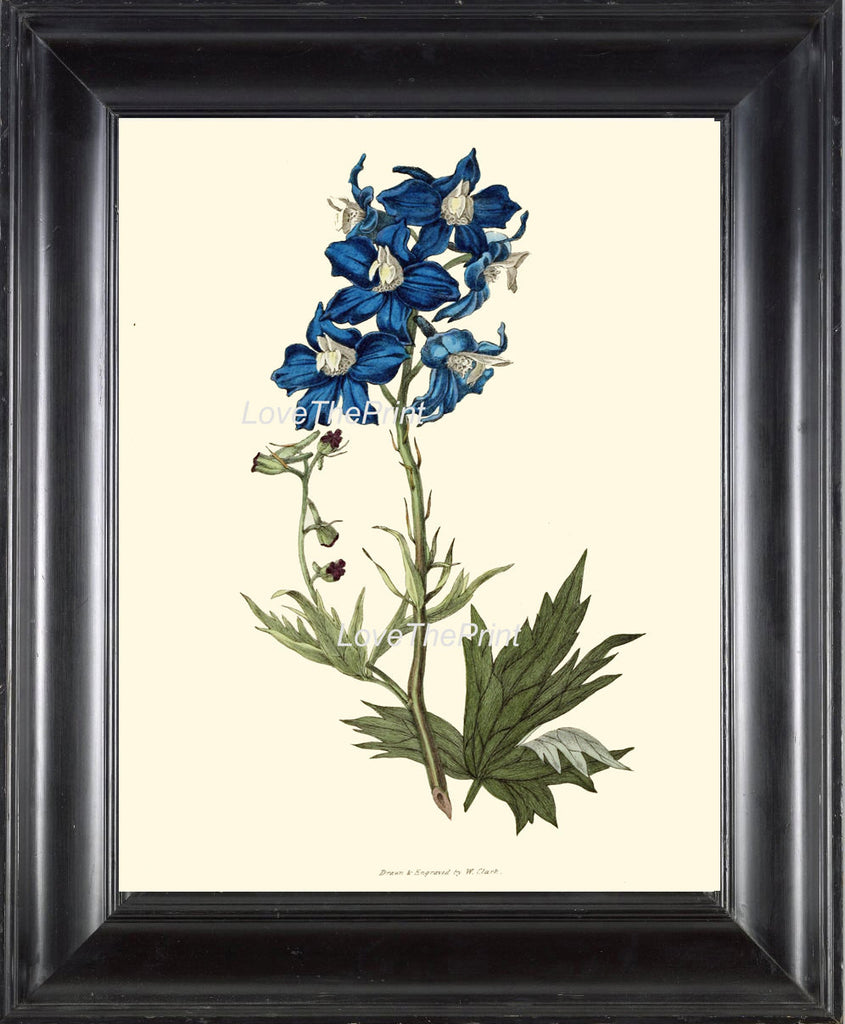 BOTANICAL PRINT Clarke  Botanical Art Print 28 Beautiful Blue Delphinium Flower Antique Garden Wall Home Decor Interior Design to Frame