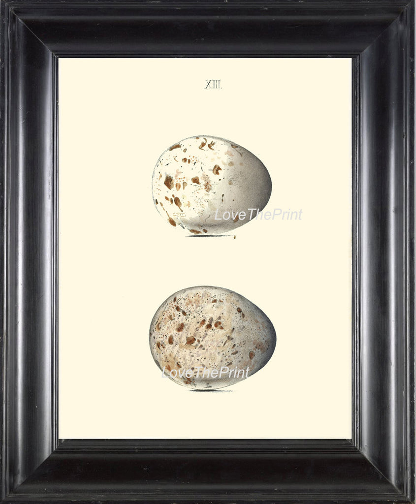 BIRD EGGS PRINT Chapman  Art Print 10 Beautiful Bird Eggs of Kite Antique Ivory Home Wall Decor Interior Design to Frame Nest Nature