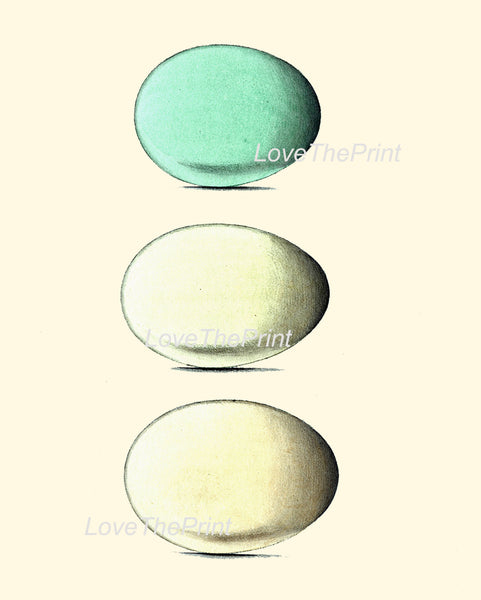 BIRD EGGS PRINT Chapman  Art Print 6 Beautiful Bird Eggs of Golden Eye Red-Breasted Merganser Bird Antique Aqua Blue Home Decor to Frame