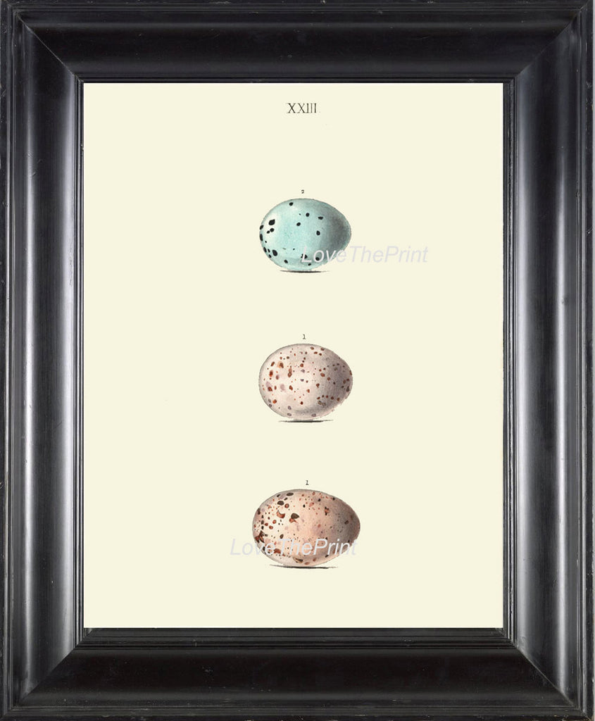 BIRD EGGS PRINT Chapman  Art Print 11 Beautiful Bird Eggs of Missel and Song Thrush Antique Ivory Home Wall Decor to Frame Nest Nature