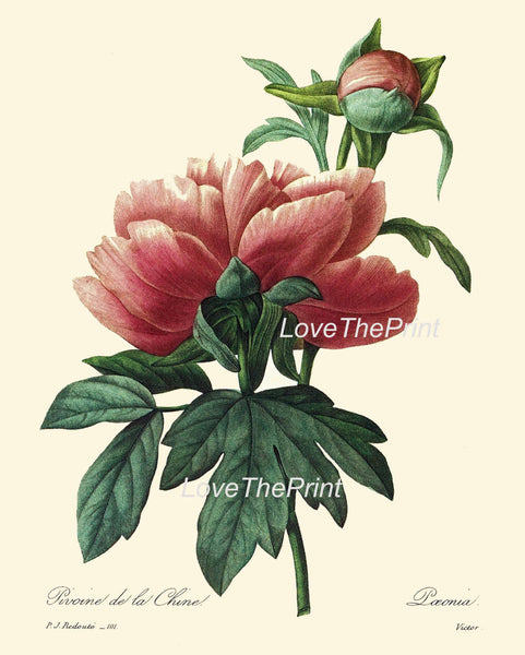 BOTANICAL PRINT Redoute Flower  Botanical Art Print 26 Beautiful Large Red Pink Peony Plant Garden Nature to Frame Home Room Decor