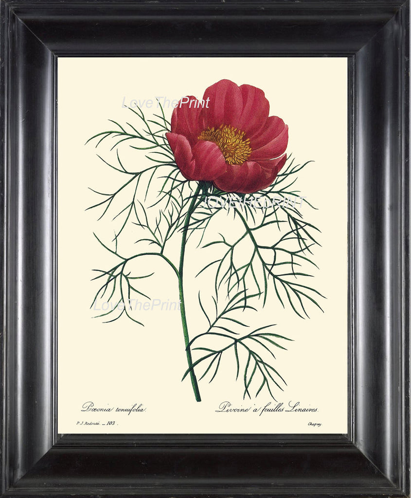 BOTANICAL PRINT Redoute Flower  Botanical Art Print 39 Beautiful Large Peony Antique Flower Room Wall Decoration Illustration Decor