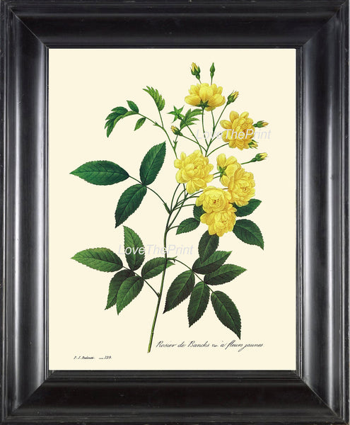 BOTANICAL PRINT Redoute Flower  Botanical Art Print 43 Beautiful Yellow Rose Flower Plant Spring Summer Antique Garden to Frame Decor