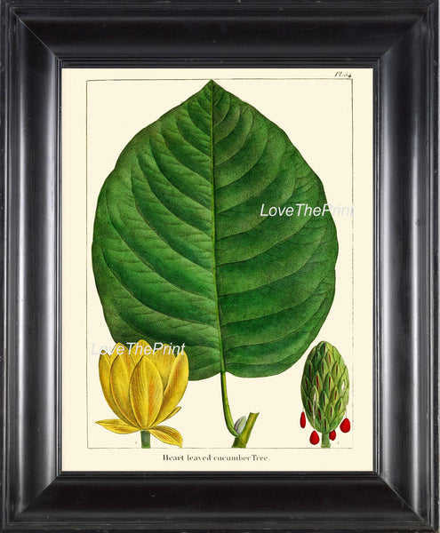 BOTANICAL PRINT Redoute  Art Print 319 Beautiful Large Cucumber Tree Antique Flower Wall Home Decoration Spring Nature Chart to Frame