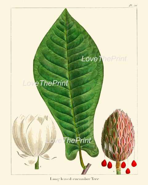 BOTANICAL PRINT Redoute  Art Print 320 Beautiful Large Cucumber Tree White Antique Flower Fruit Spring Nature Home Decor Chart to Frame