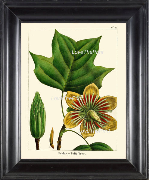 BOTANICAL PRINT Redoute  Art Print 322 Beautiful Poplar Tulip Tree Antique Flower Beautiful Landscaping Nature Home Decor Chart to Frame