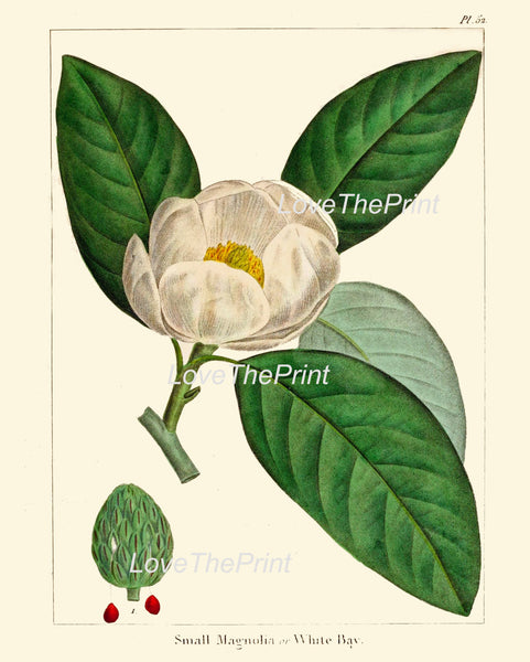 BOTANICAL PRINT Redoute  Art Print 318 Beautiful White Magnolia Tree Antique Flower Beautiful Landscaping Nature Room Decor to Frame