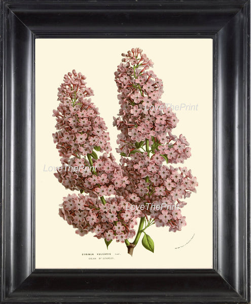 BOTANICAL PRINT HOUTTE  Art 207 Beautiful Purple Violet Lilac Antique Flower Tree Branch Garden Plant Home Wall Decor Picture to Frame