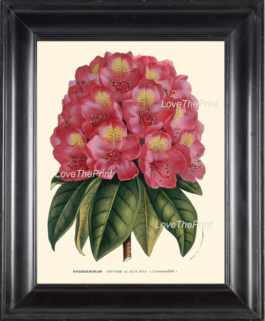 BOTANICAL PRINT HOUTTE  Art 198 Beautiful Pink Red Rhododendron Large Antique Flower Garden Plant Home Wall Decor Picture to Frame