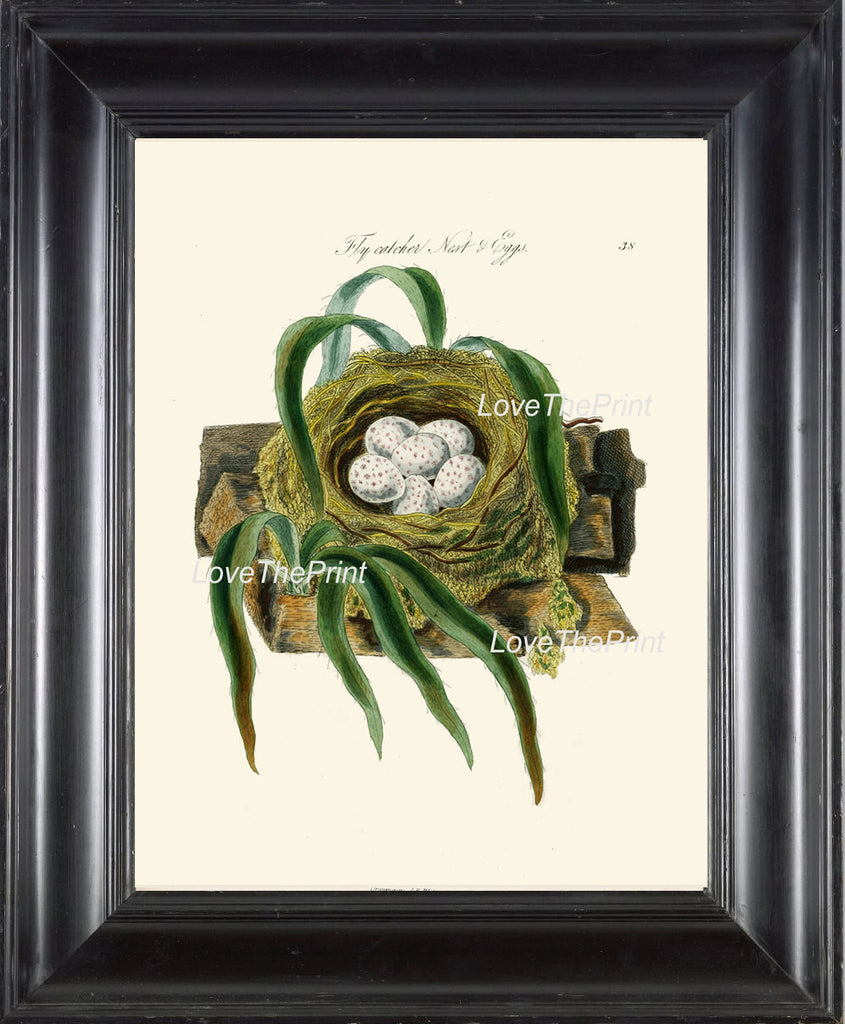 BIRD EGGS  Art Print B1 Beautiful Antique Fly Catcher Bird Eggs Nest  Golden Brown Chart Decoration Wall Hanging