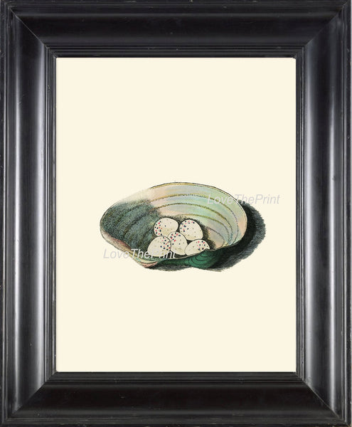 BIRD EGGS  Art Print B6 Beautiful Antique Siskin Bird Eggs Nest Sea Shell Decoration Wall Hanging