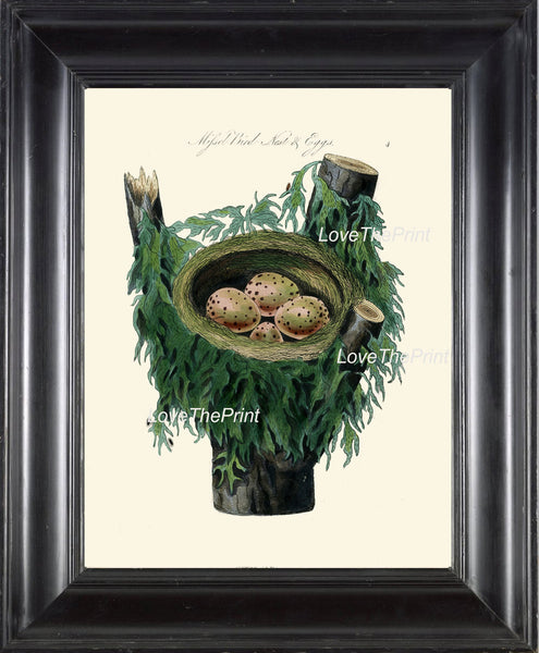 BIRD EGGS  Art Print B2 Beautiful Antique Missel Bird Eggs Nest  Golden Brown Chart Decoration Wall Hanging Living Room Interior Design