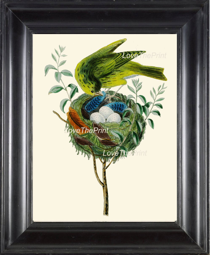 BIRD EGGS  Art Print B5 Beautiful Antique Yellow Canary Bird Eggs Nest Feather Decoration Wall Hanging Home Living Room Interior Design