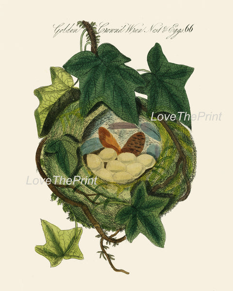 BIRD EGGS  Art Print B21 Beautiful Antique Golden Crowned Wren Bird Eggs Nest Decoration Home Room Decor to Frame Nature Interior Design