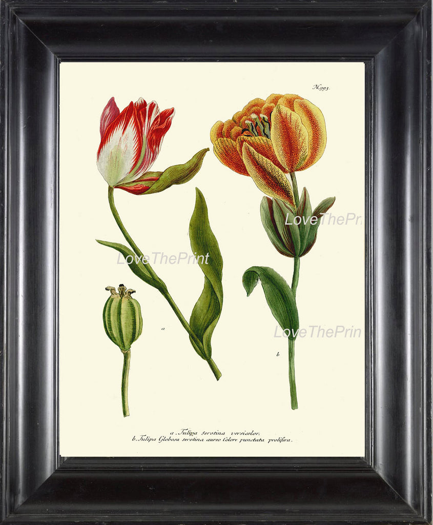 BOTANICAL PRINT Flower  Botanical Art Print W23 Beautiful Red Yellow Antique Tulip Flowers Garden Nature to Frame Home Room Wall Decor