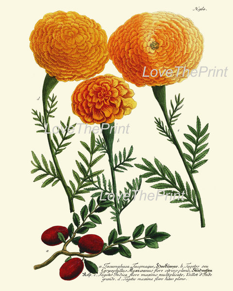 BOTANICAL PRINT  Art Print W3 Beautiful Antique Tagetes Marigolds Spring Summer Garden Plant Chart Nature to Frame Living Dining Room