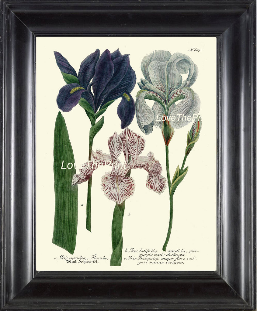 BOTANICAL PRINT  Art Print W7 Beautiful Blue White Pink Antique Iris Flowers Spring Summer Garden Plant Chart Nature to Frame Home
