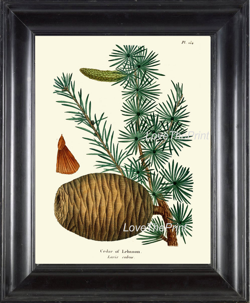 BOTANICAL PRINT Redoute  Art Print 332 Beautiful Cedar of Lebanon Pine Pinecone Tree Branch Fall Winter Christmas Nature Home Wall Decor
