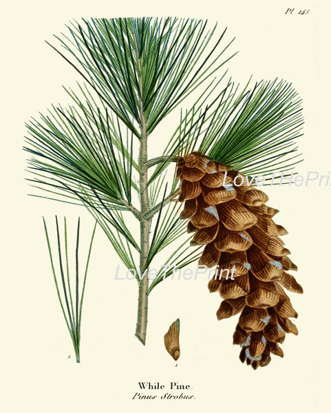 BOTANICAL PRINT Redoute  Art Print 331 Beautiful While Pine Pinecone Tree Branch Fall Winter Christmas Forest Nature Home Wall Decor