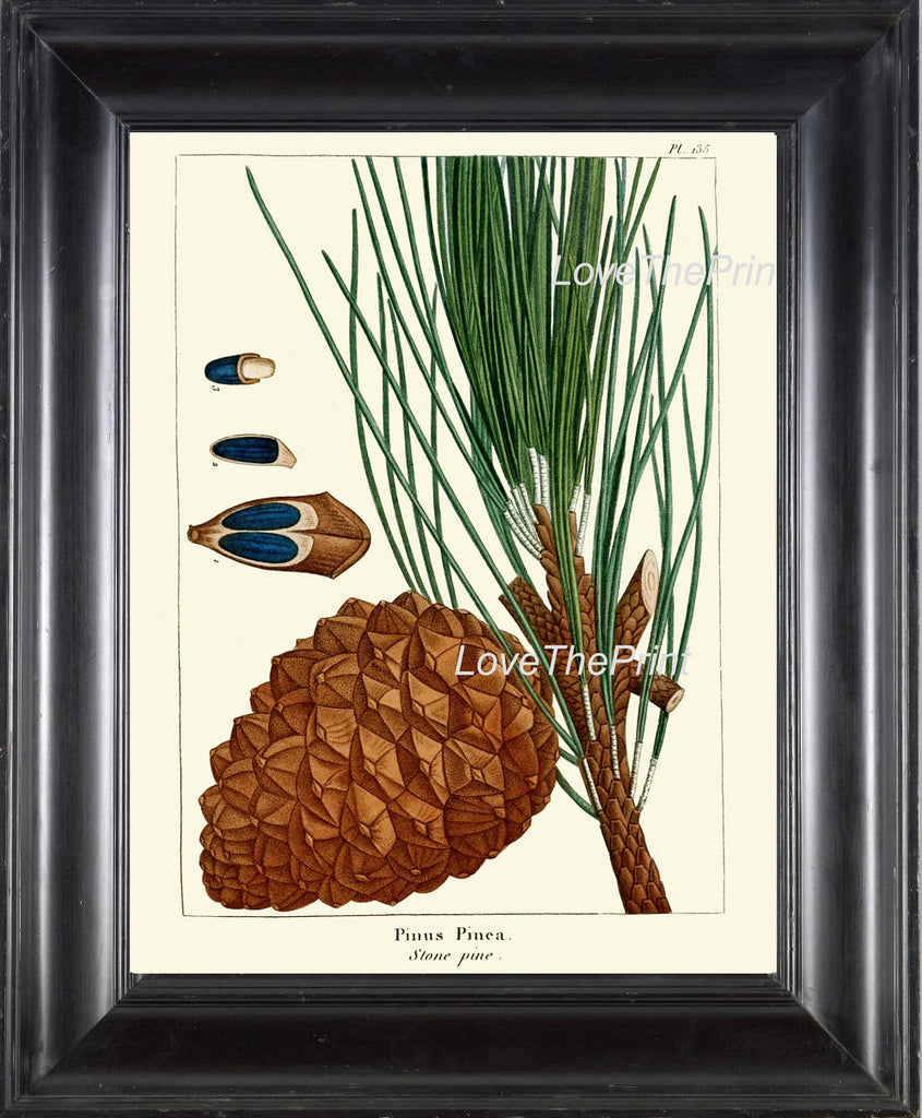 BOTANICAL PRINT Redoute  Art Print 328 Beautiful Stone Pine Pinecone Tree Branch Fall Winter Christmas Forest Nature Home Wall Decor