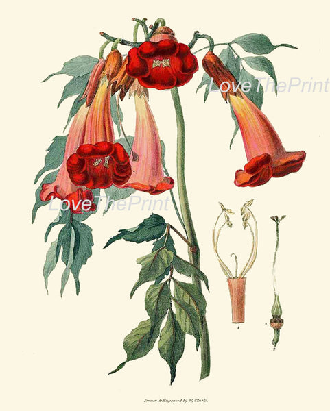 BOTANICAL PRINT Clarke  Botanical Art Print 20 Beautiful Trumpet Flower Tropical Garden Antique Summer Island Home Wall Decor to Frame