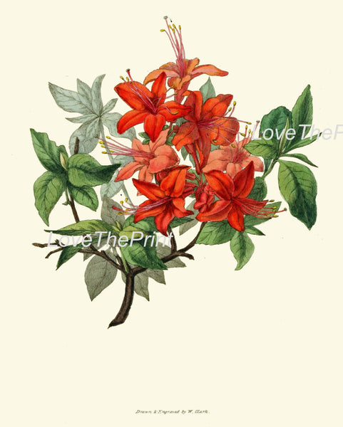 BOTANICAL PRINT Clarke  Botanical Art Print 29 Azalea Beautiful Pink Red Antique Flower Garden Spring Summer Home Wall Decor to Frame