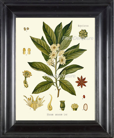 Japanese Star Anese Botanical Art Print 14 Kohler Herb 8x10 Beautiful Antique White Flowers Spice Cooking Kitchen Dining Room Wall Chart