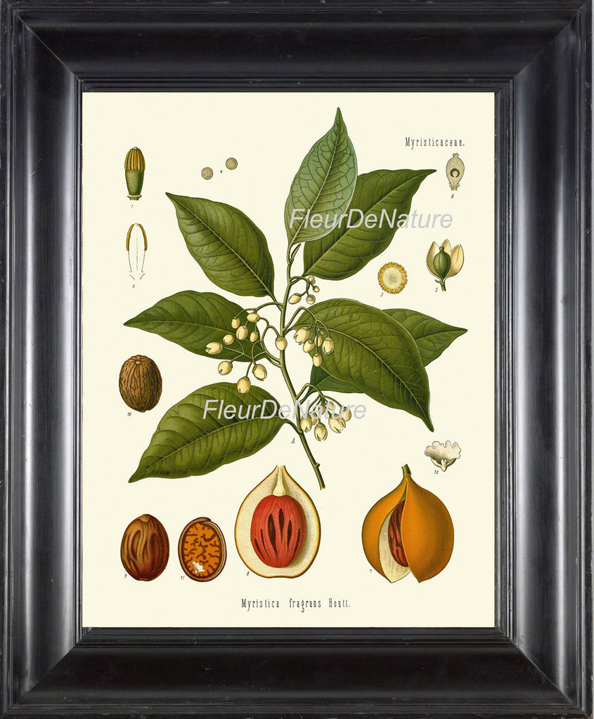 BOTANICAL PRINT Kohler Herb 8x10 Botanical Art Print 17 Beautiful Nutmeg Tree Spice Cooking Chef Kitchen Baking Room Wall Decor to Frame