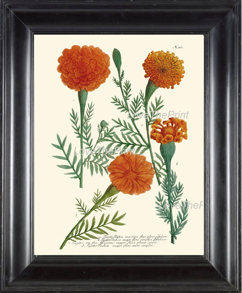 BOTANICAL PRINT  Art Print W1 Beautiful Antique Marigolds Orange Garden Nature to Frame Interior Design Home Decor Room Wall Decoration