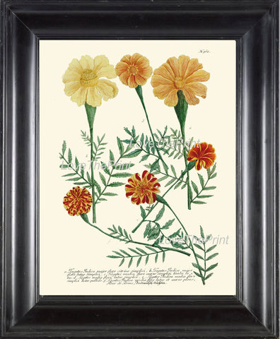 BOTANICAL PRINT  Art Print W2 Beautiful Antique Marigolds Orange Flowers Illustration Plate to Frame Home Room Wall Hanging Picture
