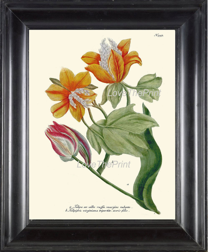 BOTANICAL PRINT  Art Print W5 Beautiful Antique Tulip Flowers Red Pink Yellow Illustration Plate to Frame Home Room Wall Hanging Picture