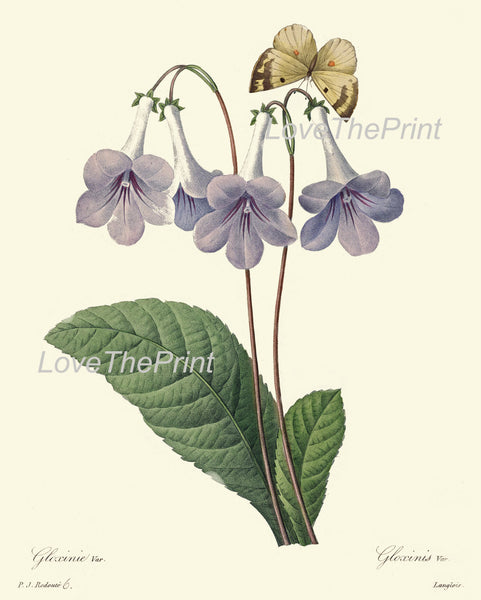 BOTANICAL PRINT Redoute Flower  Art 487 Beautiful Blue Gloxinia Butterfly Garden Nature Plant Violet White Summer Spring Decor to Frame