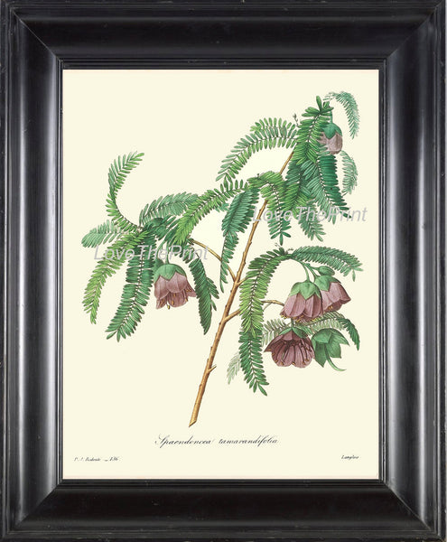 BOTANICAL PRINT Redoute Flower  Art 6 Beautiful Blue Purple Cadia Purpurea Tree Branch Antique Nature Home Wall Room Decor to Frame